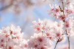 cherry_02_8685.JPG
